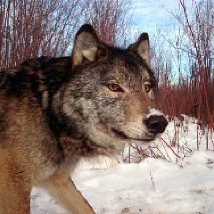 Wolves & Other Canids: A Morning of Wildlife Biology with Rolf
